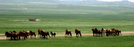 Chevaux mongole